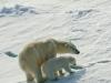 Mother Polar Bear and cub