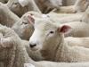 New Zealand lambs