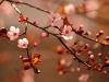 Beautiful flowering cherry