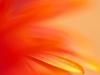 Orange red daisy