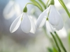 Snowdrops on the field