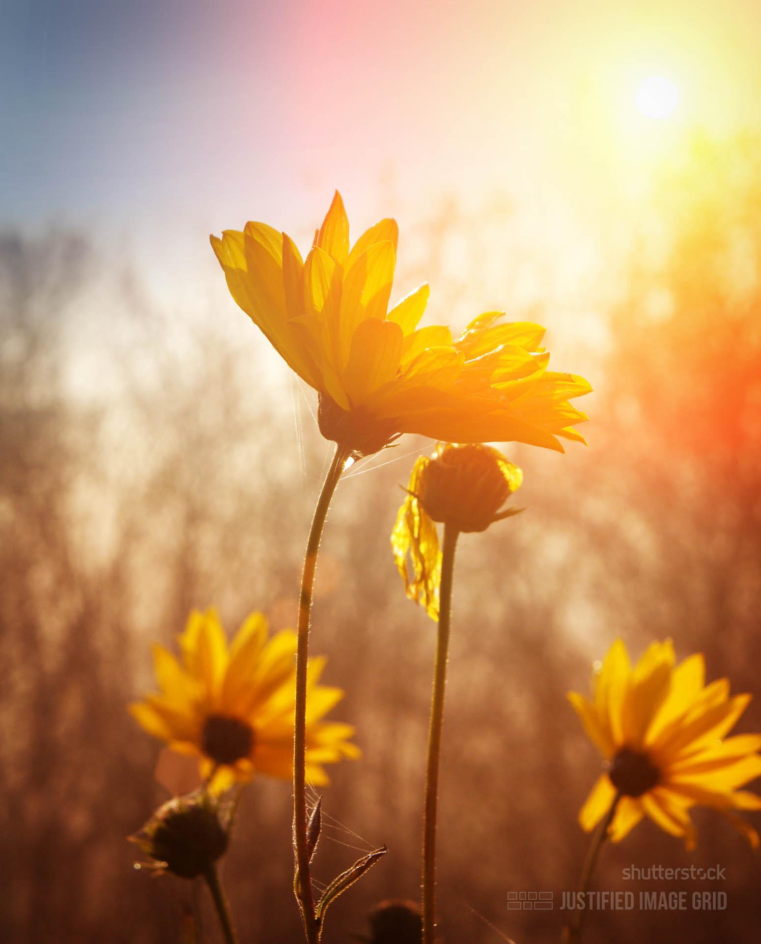 Цветы рассвет